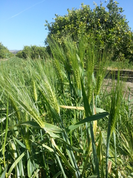 Last season's barley and rye covercrop will help with this year's El Niño